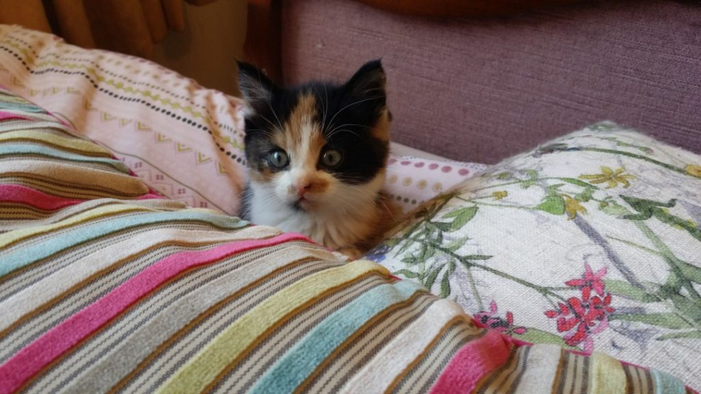 Mabli the calico kitten snuggling between two cushions